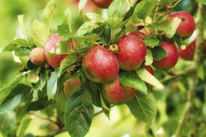 jabłka na gałęzi