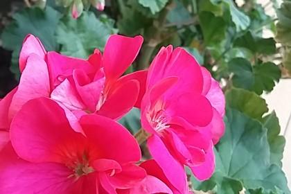 pelargonie kwitnące