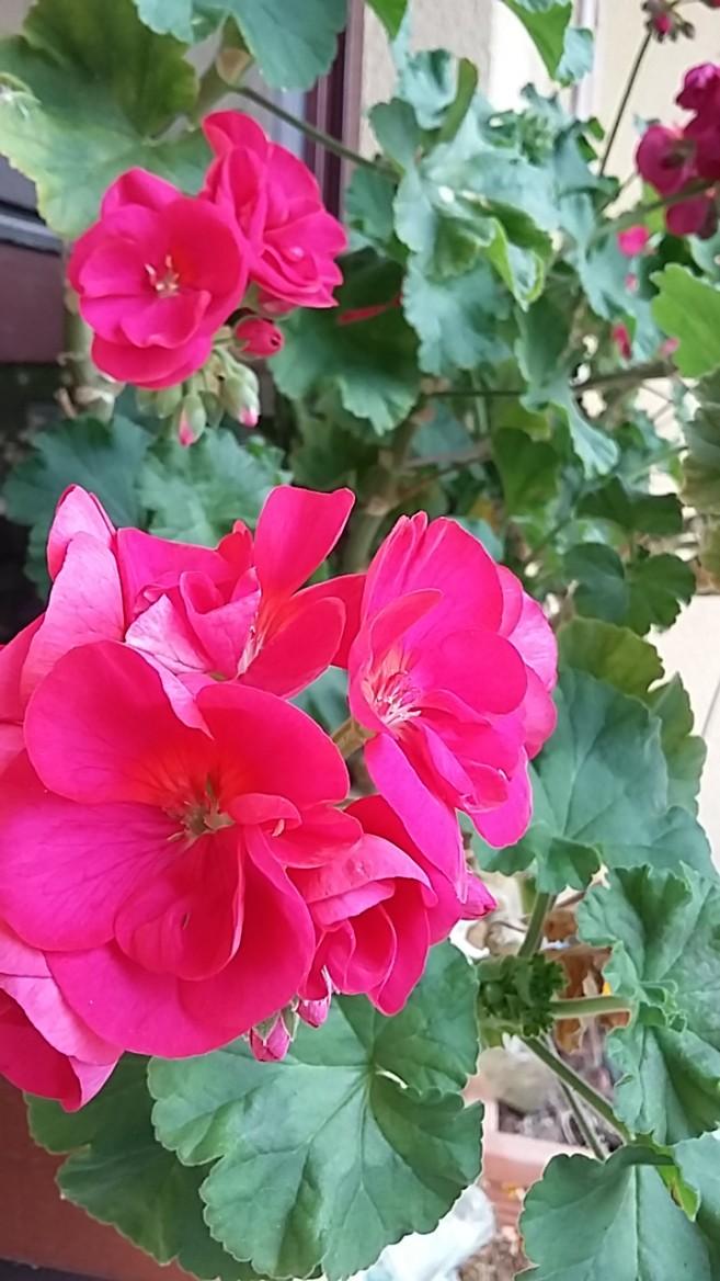 kwitnące pelargonie
