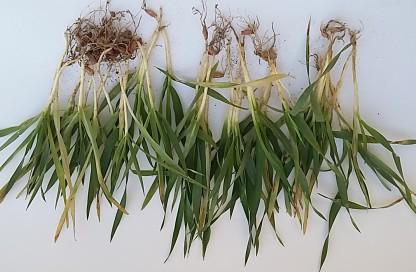 jęczmień ozimy wyrwane rośliny