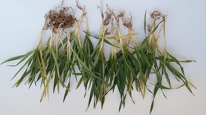 wygląd jęczmienia rosnącego w warunkach suszy
