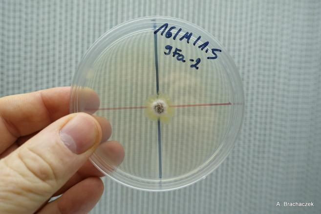 próbki grzybów przy badaniu fungicydów