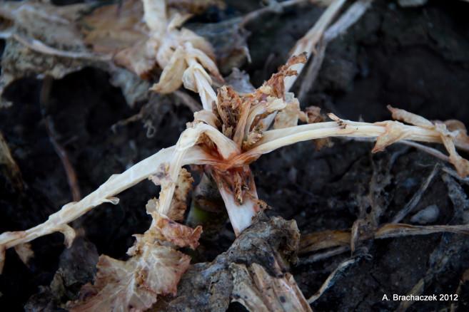 objawy braku boru obok uszkodzeń mrozowych a nawet ślady po obecności śmietki na korzeniach
