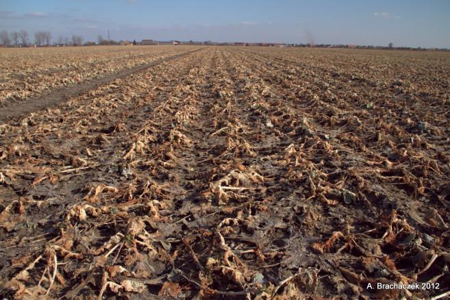 uszkodzenia masy liściowej liści po pierwszej fali mrozów w roku 2012