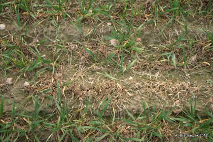 Place martwych roślin uszkodzonych przez mróz, porażonych pleśnią śniegową, z widocznymi pęknięciami gleby