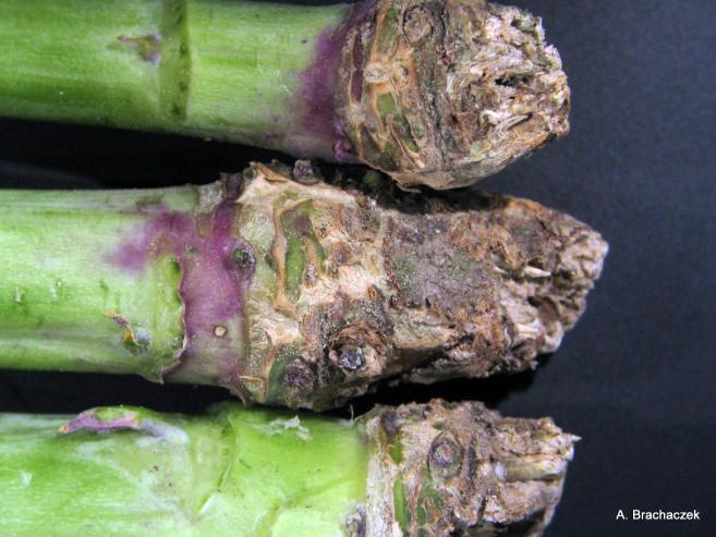 patogen na łodygach