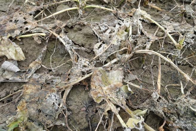 udzkodzone rośliny uprawne po zimie