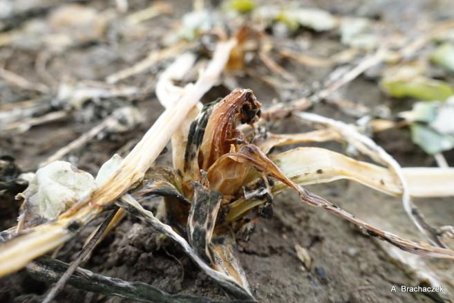 po zimie uszkodzone są rośliny z rodzaju ozimin