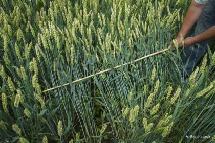 łan pszenicy chroniony fungicydem porter 250 ec