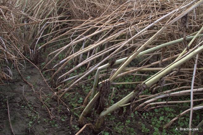 skuteczność fungicydów a szkodliwość zgnilizny