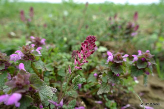 chwasty kwitnące czyli kiedy uważać z insektycydami