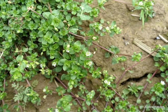 kwitnące na polach uprawnych chwasty