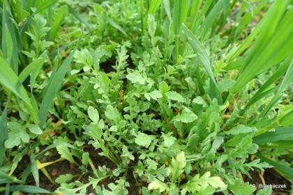 poprawki po zabiegach herbicydowych