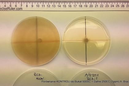 ostra plamistość oczkowa próbki