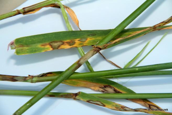 rynchosporioza atakująca rośliny