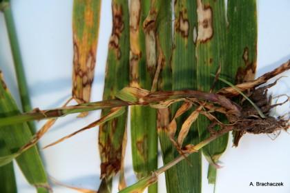 rynchosporioza zagrożenie dla roślin
