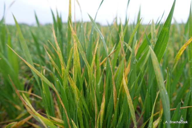 stres a rozwój zbóż
