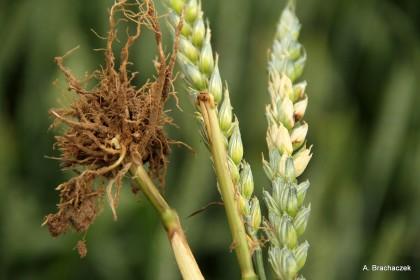 fuzaryjna zgorzel na roślinach uprawnych