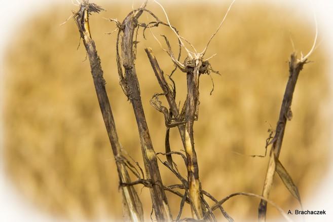 Fuzaryjna zgorzel niszcząca uprawy