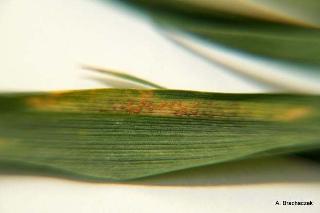 Rdza żółta i brunatna - wczesny rozwój na pszenicy