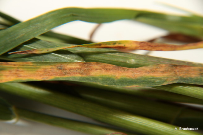 septorioza paskowana liści atak na łodygi