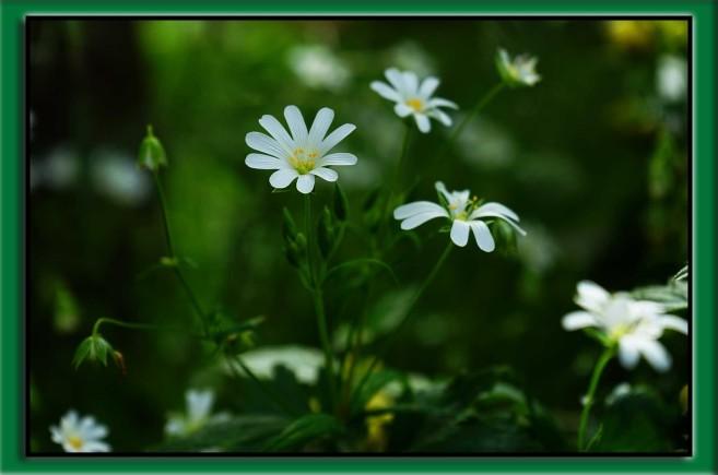 gwiazdnica pospolita i jej kwiat