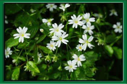 gwiazdnica pospolita kwiat