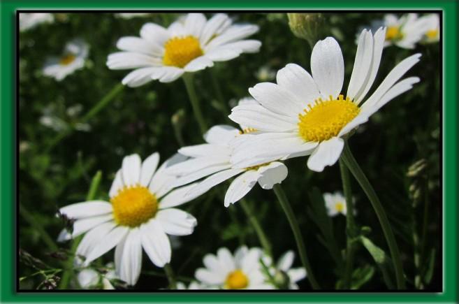 maruna bezwonna kwiat
