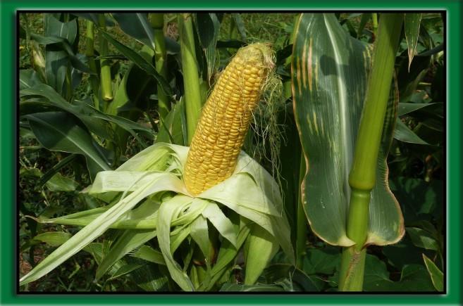 ochrona kukurydzy