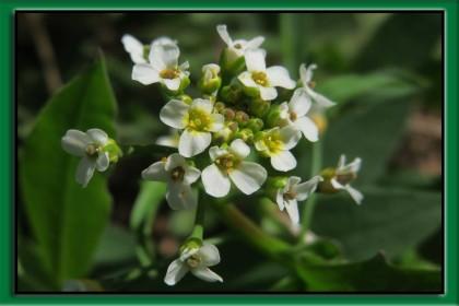 tobołki polne zbliżenie na kwiat