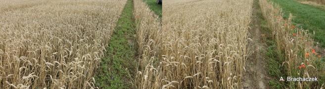 herbicydy na zachwaszczenie wtórne w uprawach