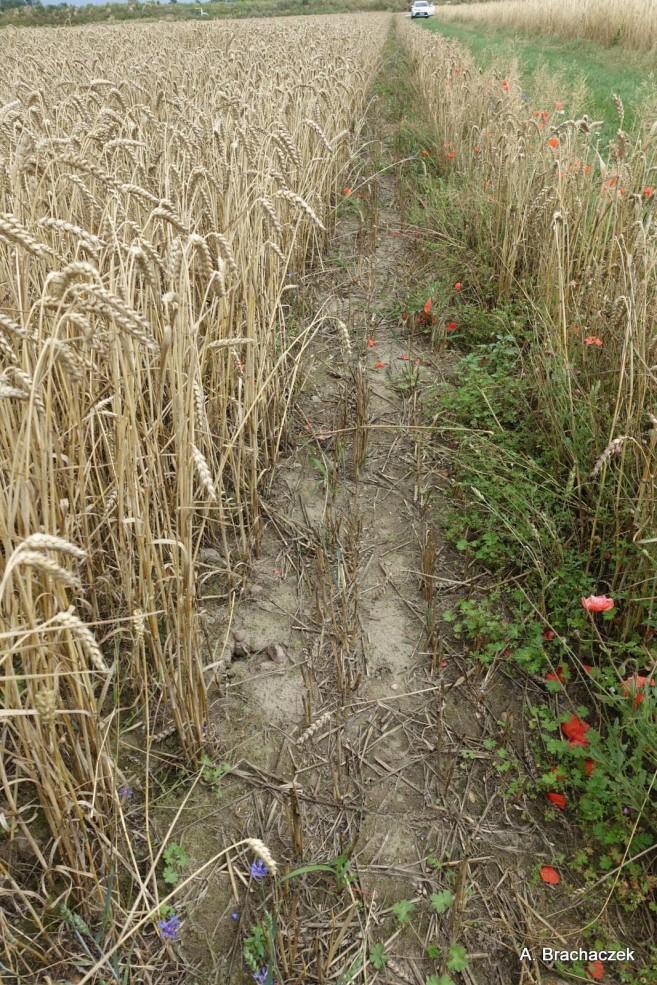 chwasty w uprawach i zabiegi herbicydami