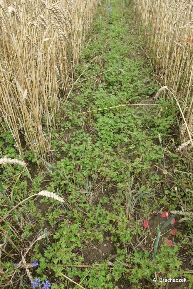 zabiegi herbicydami
