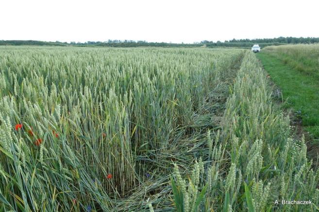 stosowanie herbicydów przy zachwaszczeniu wtórnym