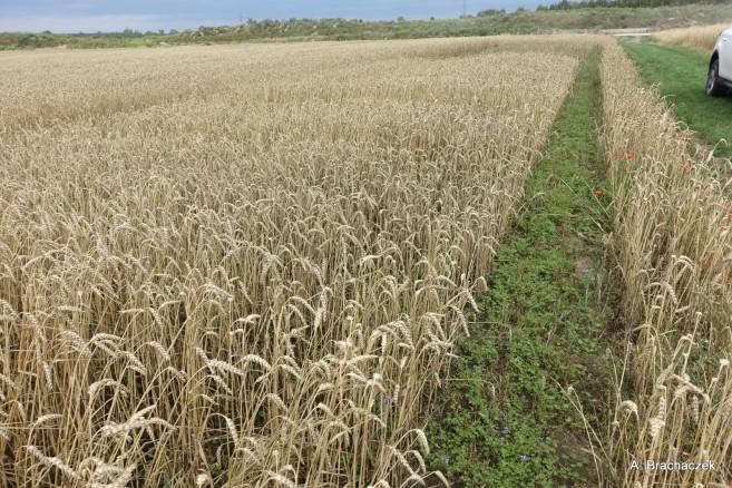 zachwaszczenie wtórne na polach rolnych