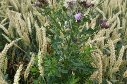 skuteczne zwalczanie chwastu ostrożeń polny