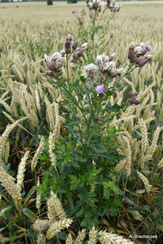 ostrożeń polny zwalczany herbicydami