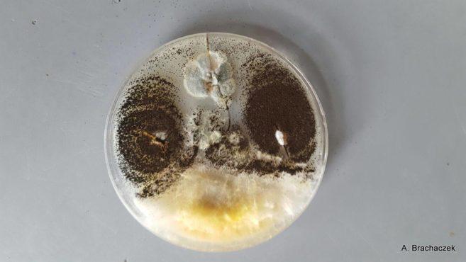 badania nad rozwojem grzybów z zbożach