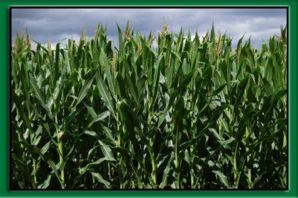 chwasty w kukurydzy na polu