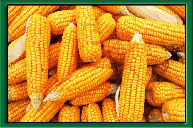 ochrona kukurydzy przed chwastami