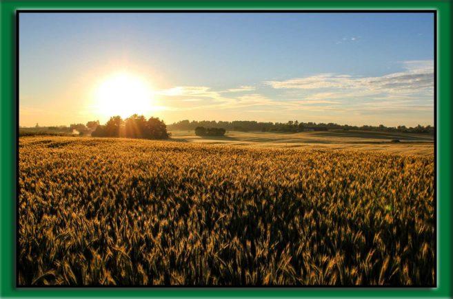 pszenica zwalczanie chwastów