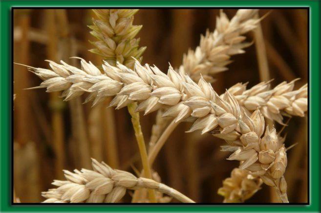 zwalczanie chwastów w pszenicy