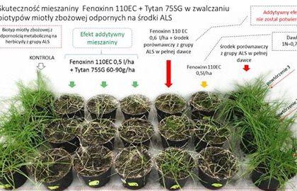 fenoxinn 110 ec i tytan 755 sg w zwalczaniu miotły zbożowej