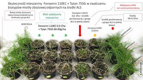 zwalczanie miotły zbożowej herbicydami