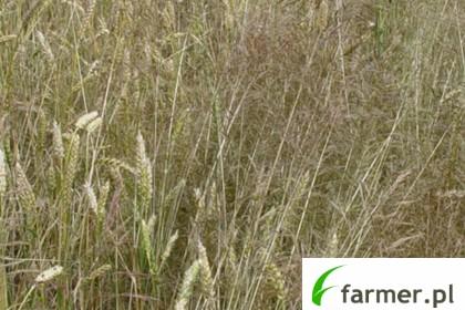 miotła zbożowa pszenicy jak zwalczać herbicydami na polach