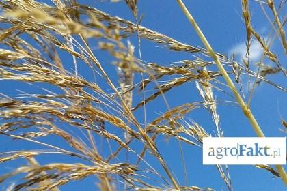 miotła zbożowa w pszenicy agrofakt