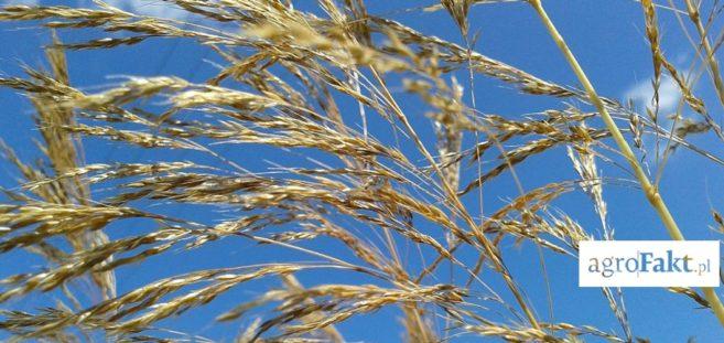 miotła zbożowa w pszenicy