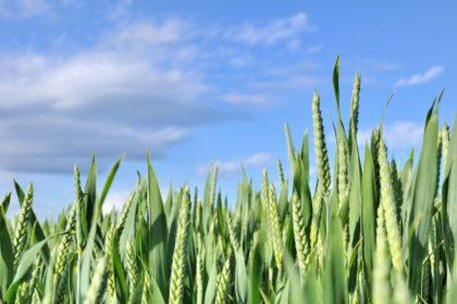 pole podczas słonecznej pogody i wygląd roślin po zastosowaniu nawozów dolistnych