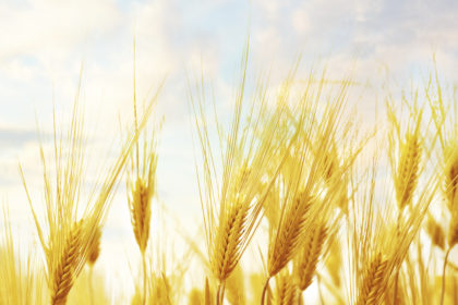 skracanie pszenicy ozimej za pomocą regulatora wzrostu mepik 300 sl
