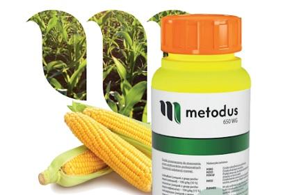 Metodus - zwalczanie chwastów w kukurydzy